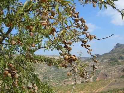 Almendros en Molinicos