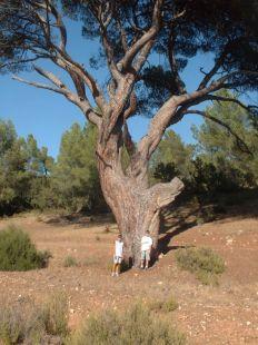 Vista del pino del 'Guapero'