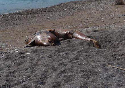 Ballena beluga en estado de descomposici�n en Cala Aguilar (Cartagena)