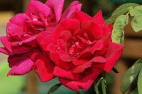 una rosa , rosa