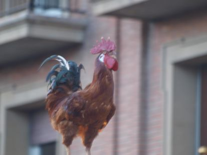 Gallo de San Pedro