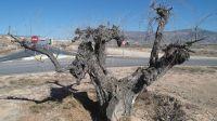 Olivos centenarios abandonados